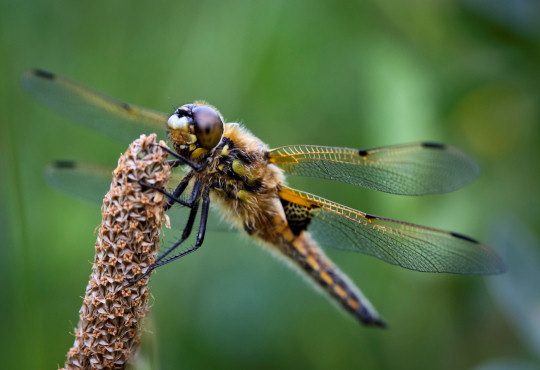 A Four-Spotted Chaser Dragonfly